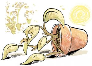 Illustration of a parched pot plant, crawing away from the sun - humorous line drawing by Michel Streich